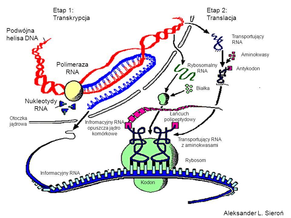 Etap 1: Transkrypcja Etap 2: Translacja Podwójna helisa DNA Polimeraza