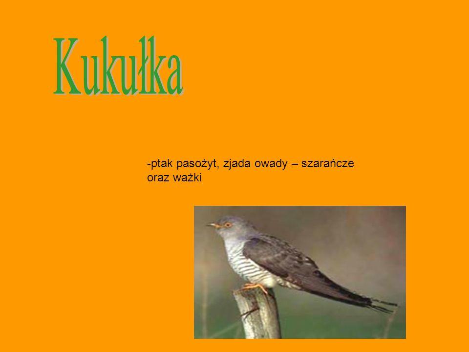 Kukułka ptak pasożyt, zjada owady – szarańcze oraz ważki