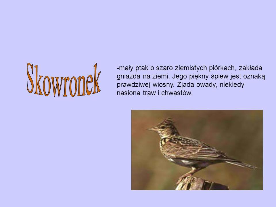 Skowronek mały ptak o szaro ziemistych piórkach, zakłada
