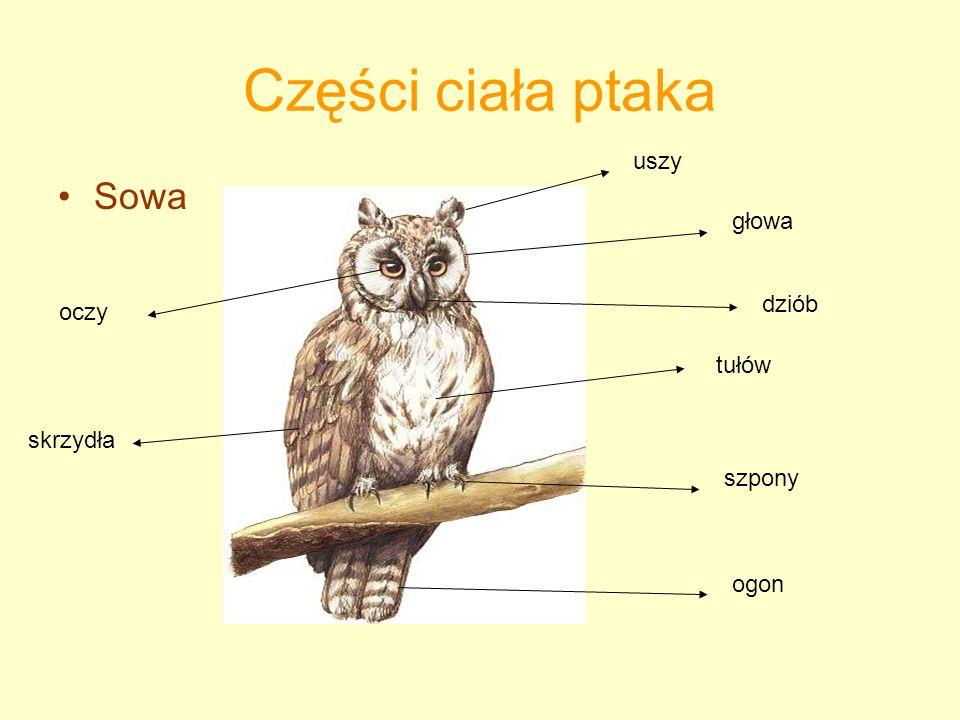 Części ciała ptaka Sowa uszy głowa dziób oczy tułów skrzydła szpony