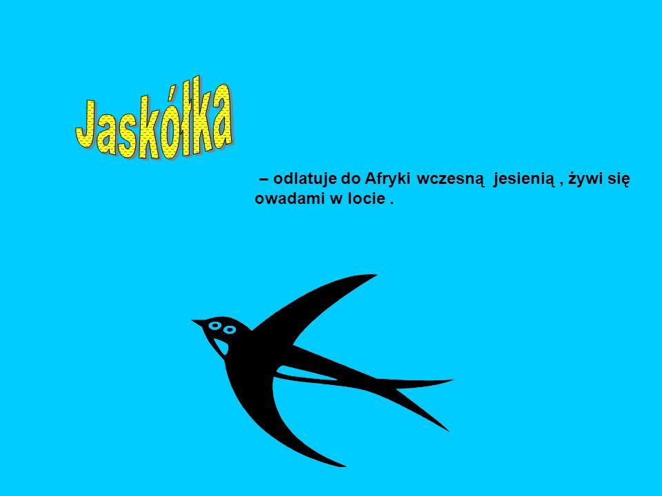 Jaskółka – odlatuje do Afryki wczesną jesienią , żywi się owadami w locie .