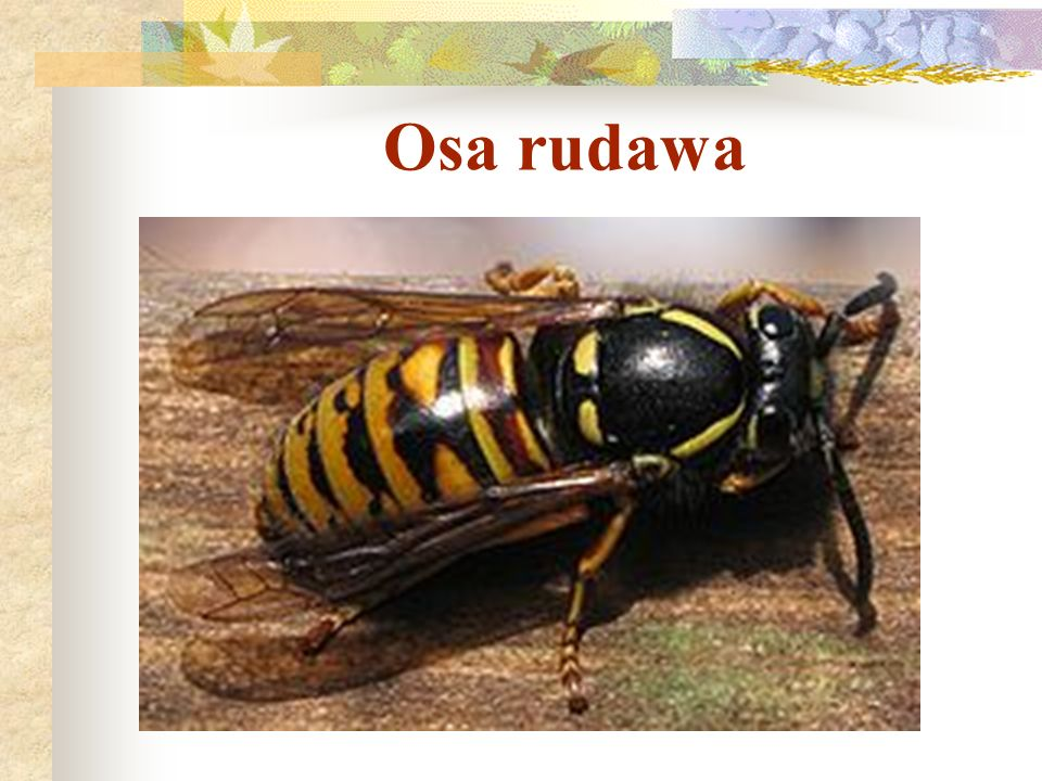 Osa rudawa