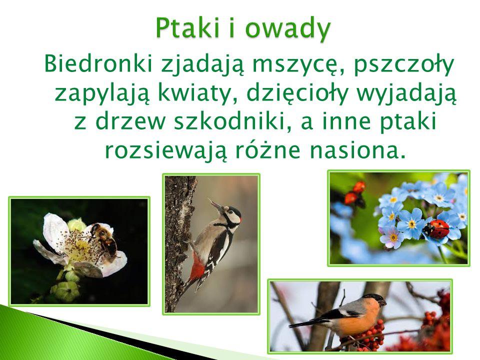 Ptaki i owady Biedronki zjadają mszycę, pszczoły zapylają kwiaty, dzięcioły wyjadają z drzew szkodniki, a inne ptaki rozsiewają różne nasiona.
