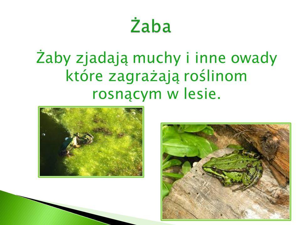 Żaba Żaby zjadają muchy i inne owady które zagrażają roślinom rosnącym w lesie.