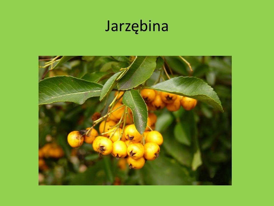 Jarzębina