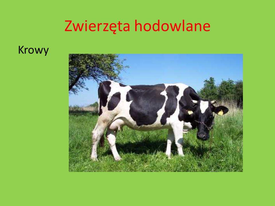 Zwierzęta hodowlane Krowy