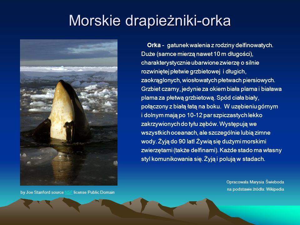 Morskie drapieżniki-orka