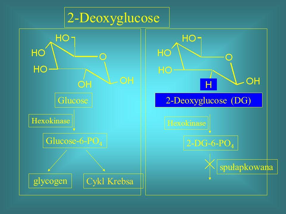 2-Deoxyglucose H Glucose 2-Deoxyglucose (DG) Glucose-6-PO4 2-DG-6-PO4