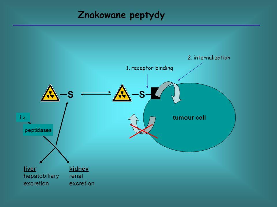 Znakowane peptydy S S tumour cell liver hepatobiliary excretion kidney
