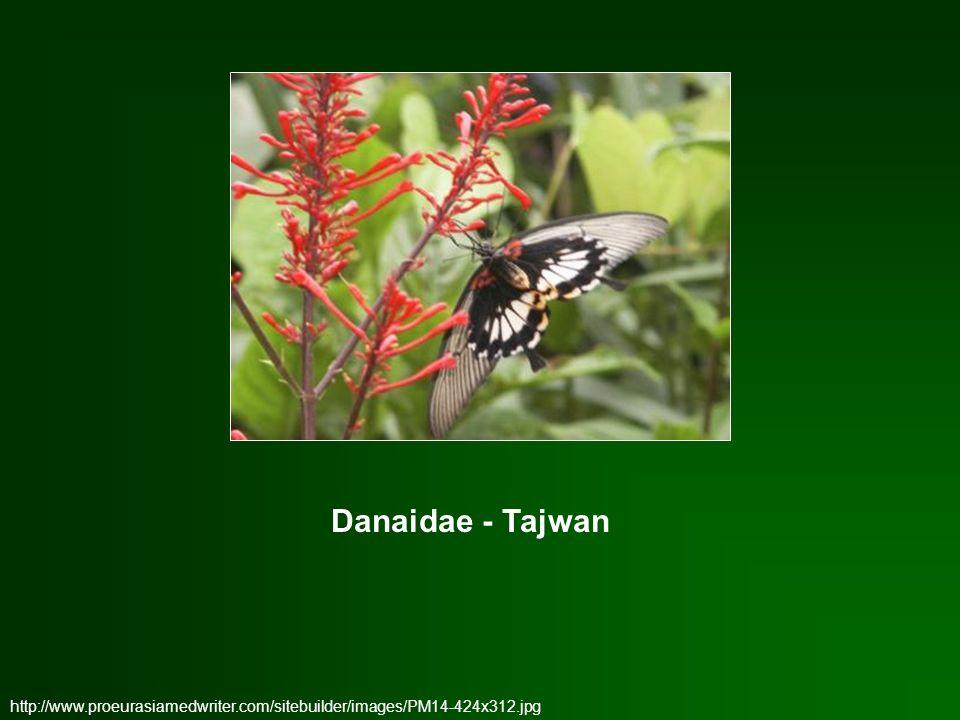 Danaidae - Tajwan http://www.proeurasiamedwriter.com/sitebuilder/images/PM14-424x312.jpg