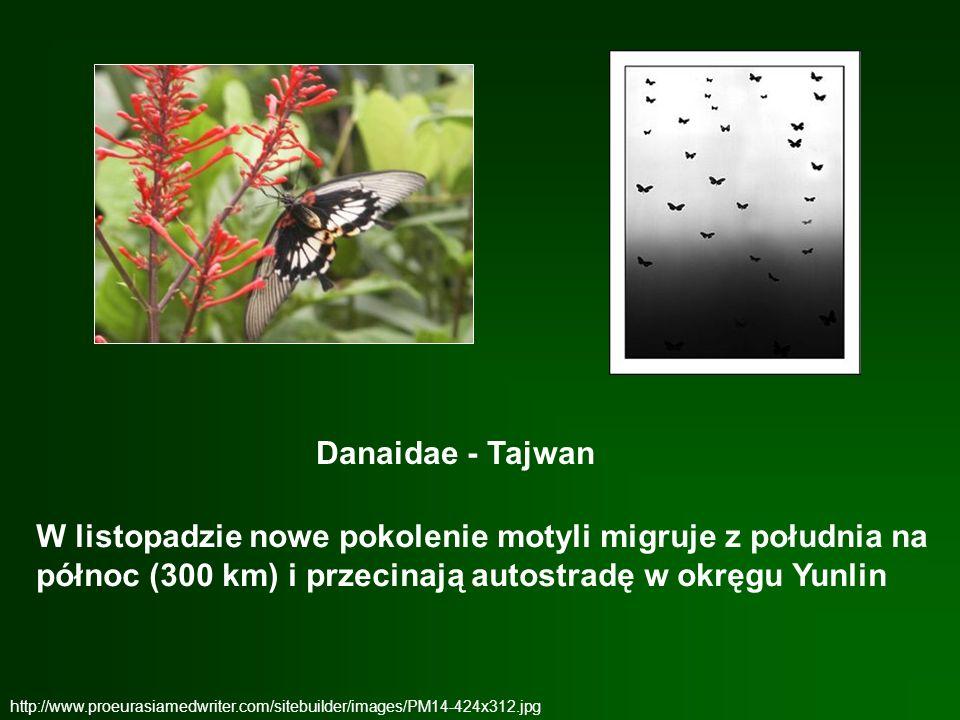 Danaidae - Tajwan W listopadzie nowe pokolenie motyli migruje z południa na północ (300 km) i przecinają autostradę w okręgu Yunlin.