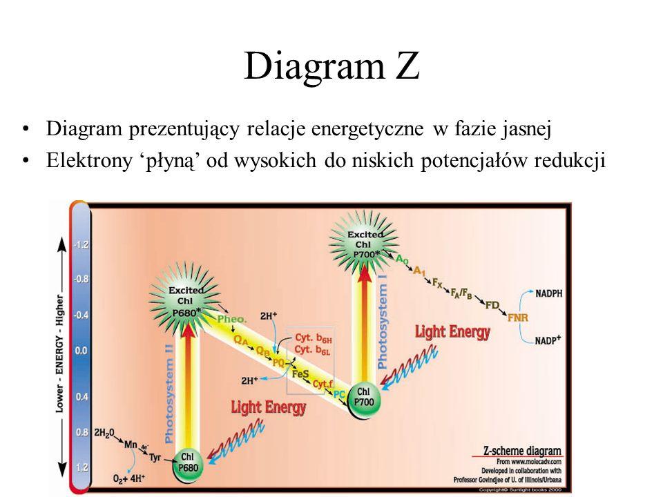 Diagram Z Diagram prezentujący relacje energetyczne w fazie jasnej
