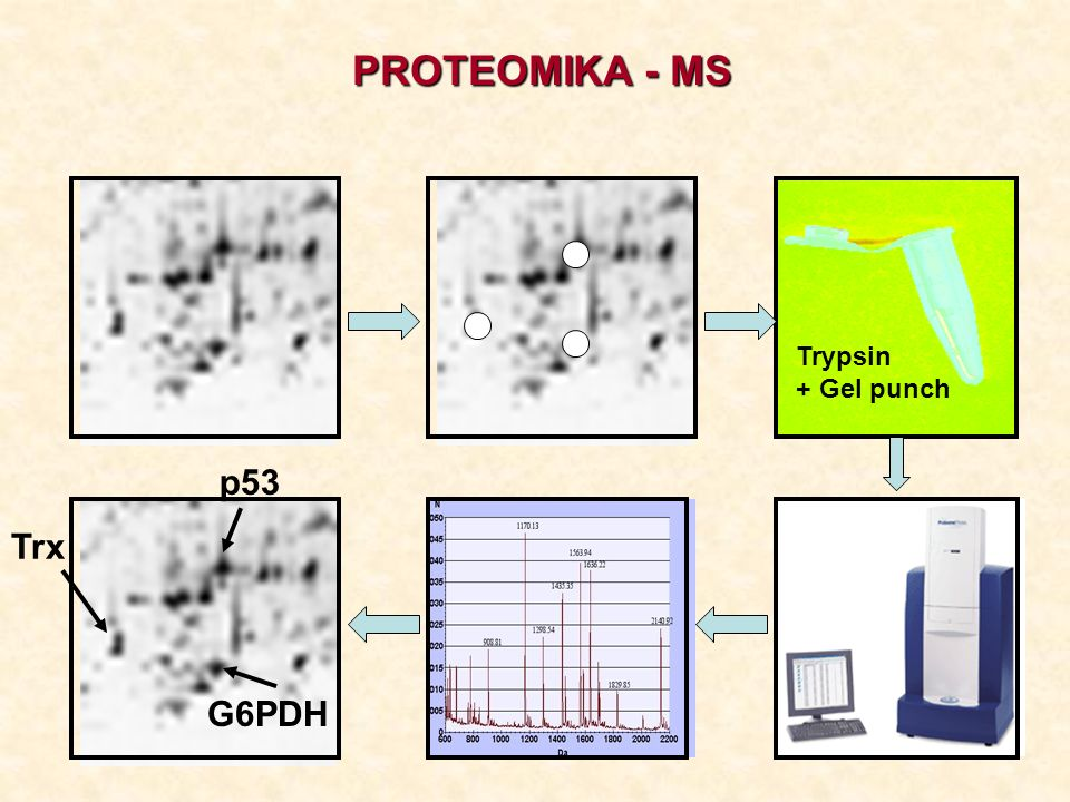 PROTEOMIKA - MS Trypsin + Gel punch p53 Trx G6PDH