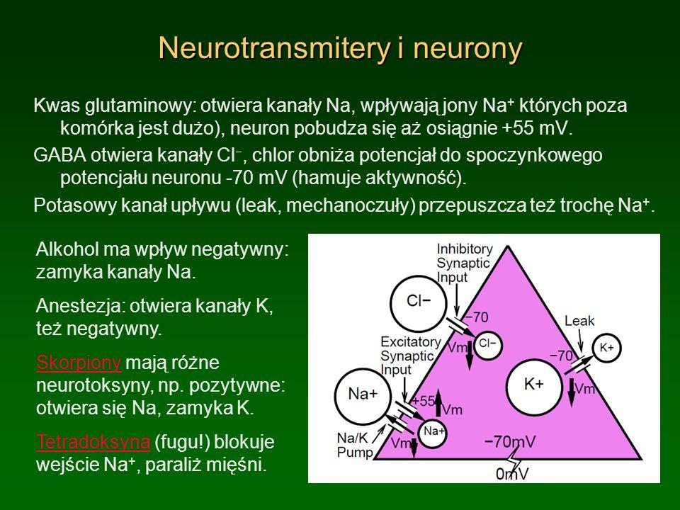 Neurotransmitery i neurony