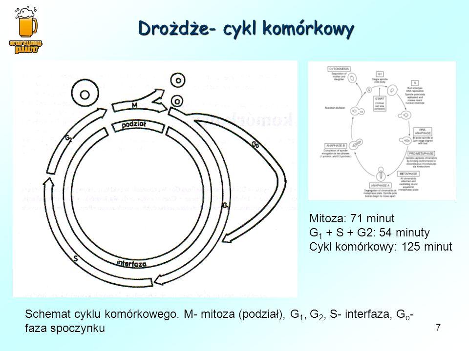 Drożdże- cykl komórkowy
