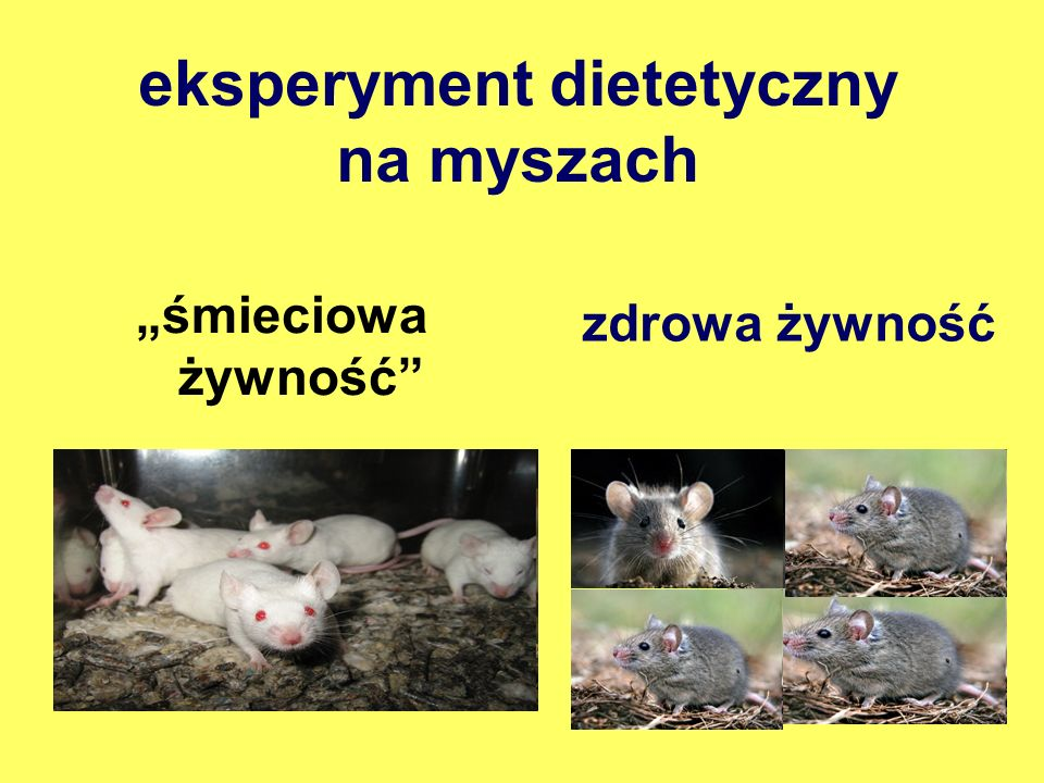 eksperyment dietetyczny na myszach