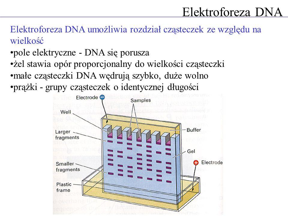 Elektroforeza DNA Elektroforeza DNA umożliwia rozdział cząsteczek ze względu na wielkość. pole elektryczne - DNA się porusza.