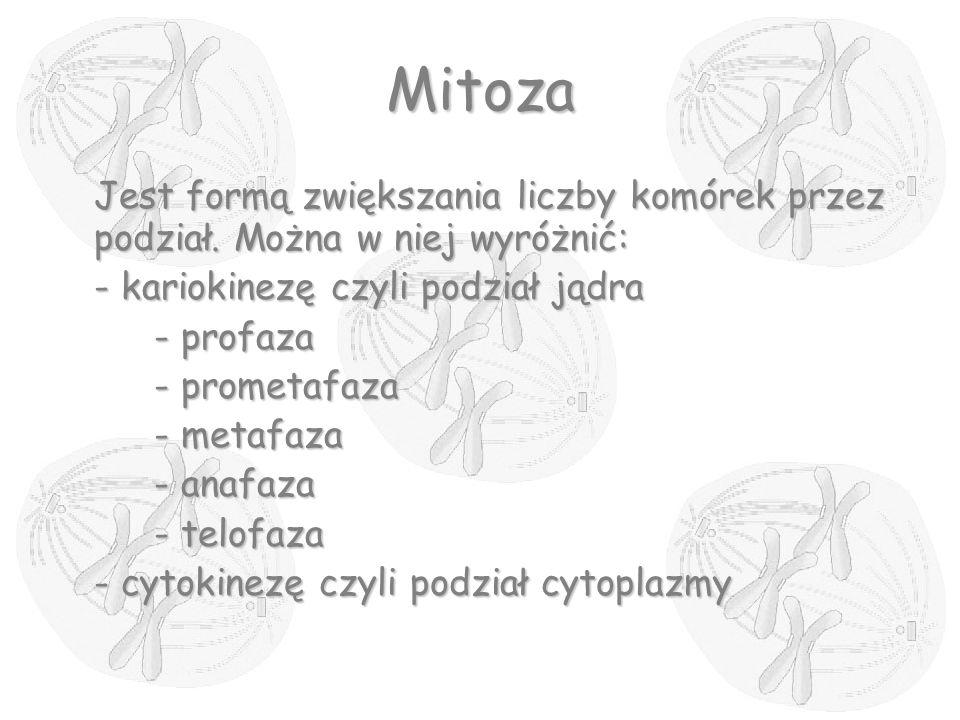 Mitoza Jest formą zwiększania liczby komórek przez podział. Można w niej wyróżnić: - kariokinezę czyli podział jądra.