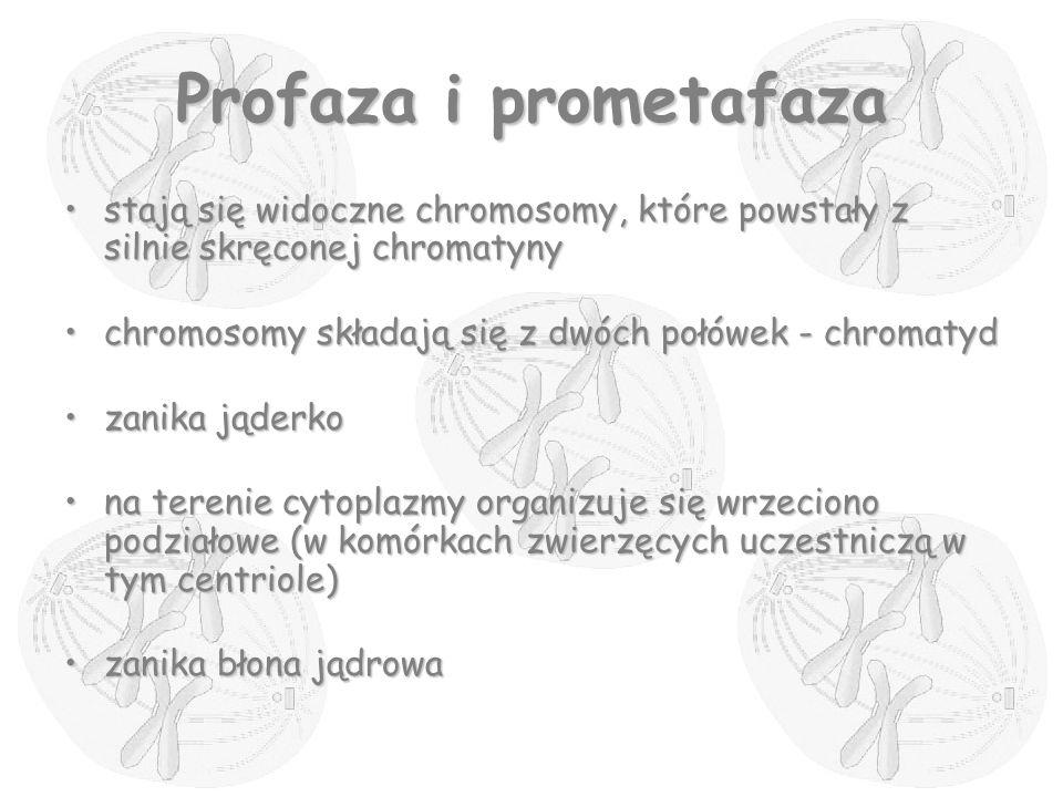 Profaza i prometafaza stają się widoczne chromosomy, które powstały z silnie skręconej chromatyny.