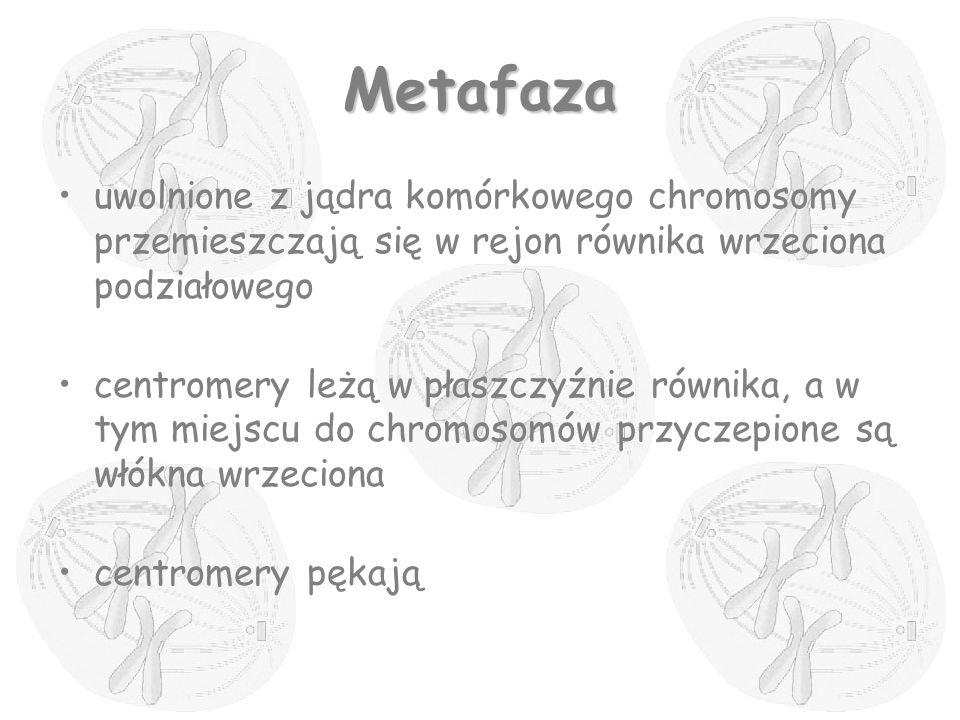 Metafaza uwolnione z jądra komórkowego chromosomy przemieszczają się w rejon równika wrzeciona podziałowego.