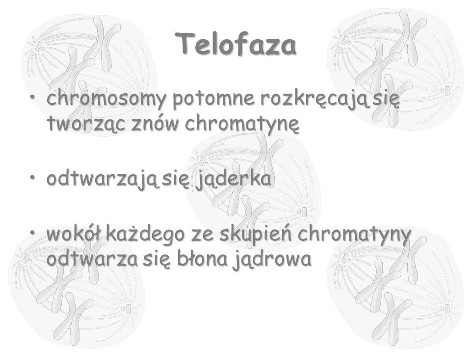 Telofaza chromosomy potomne rozkręcają się tworząc znów chromatynę