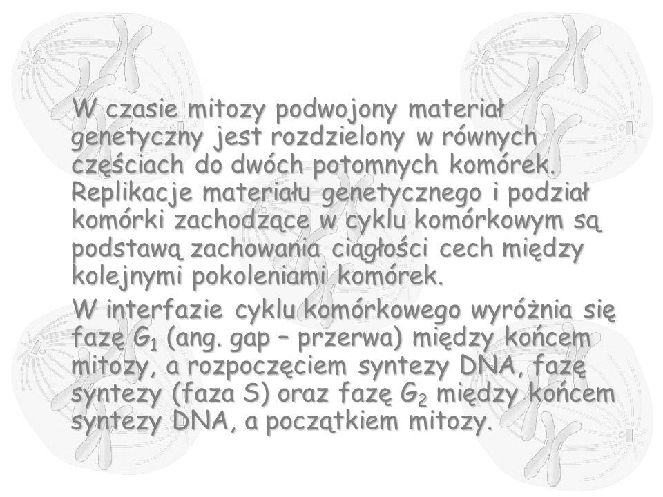 W czasie mitozy podwojony materiał genetyczny jest rozdzielony w równych częściach do dwóch potomnych komórek. Replikacje materiału genetycznego i podział komórki zachodzące w cyklu komórkowym są podstawą zachowania ciągłości cech między kolejnymi pokoleniami komórek.