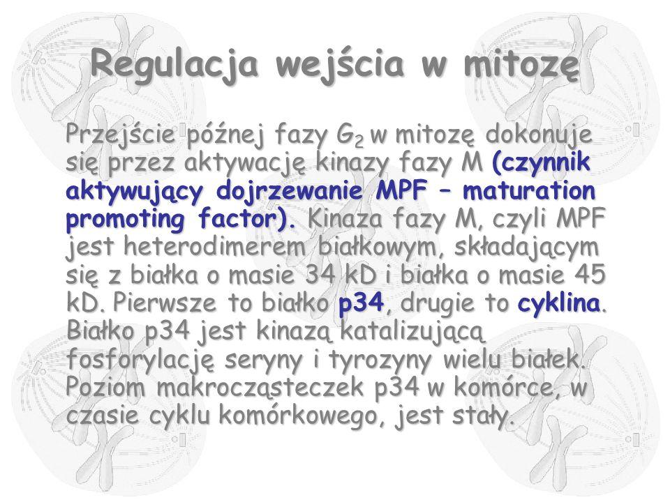Regulacja wejścia w mitozę