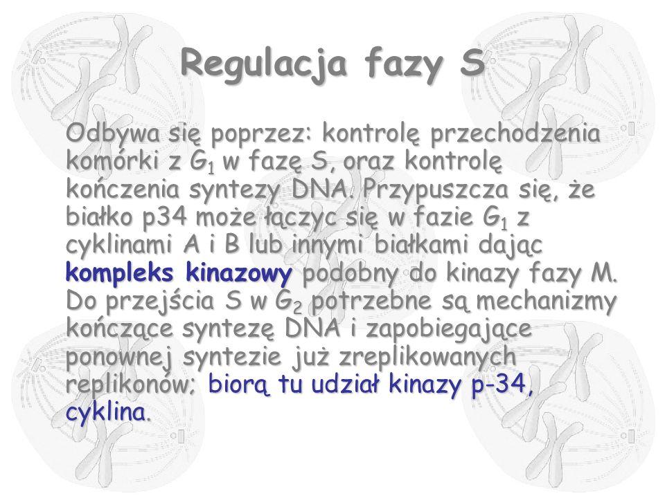 Regulacja fazy S