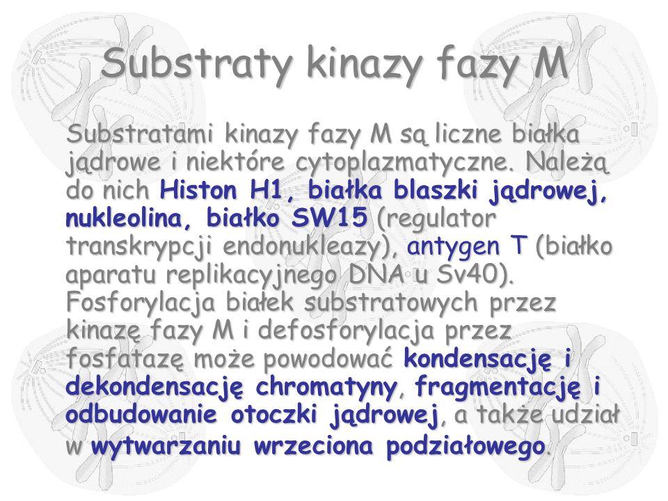 Substraty kinazy fazy M
