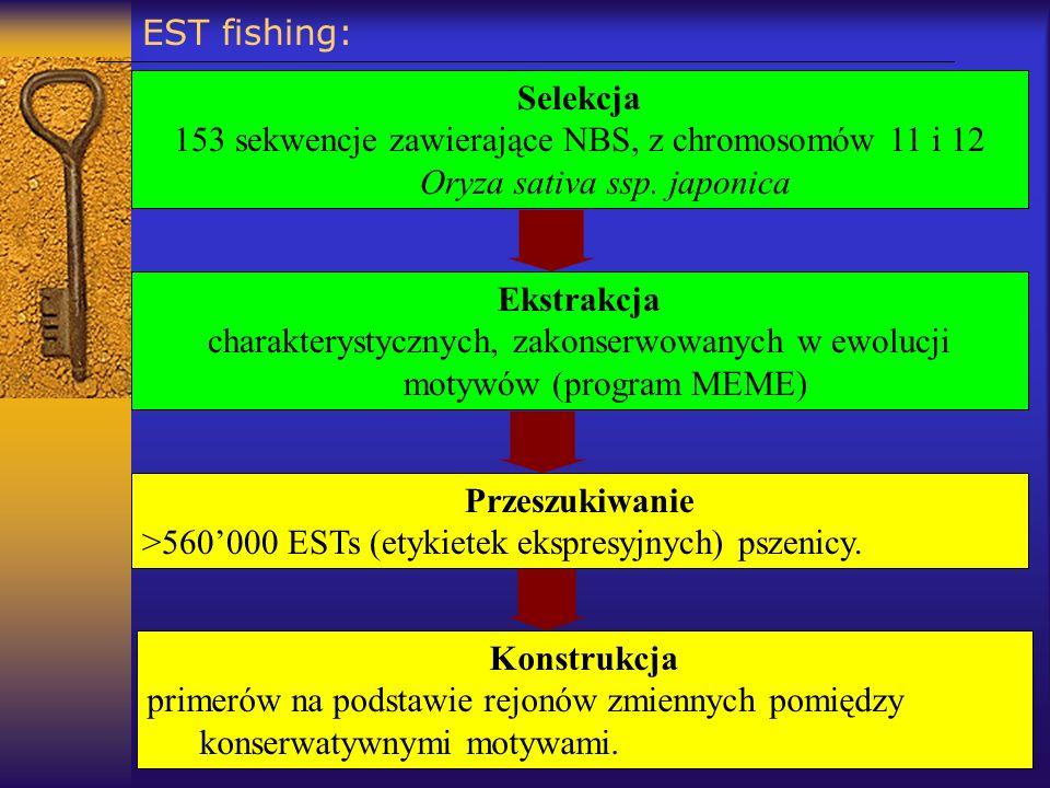 EST fishing: Selekcja. 153 sekwencje zawierające NBS, z chromosomów 11 i 12 Oryza sativa ssp. japonica.
