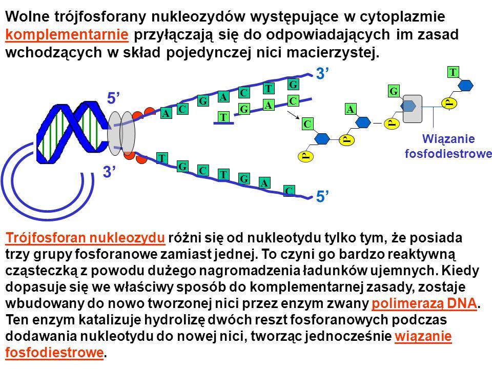 3' 5' 3' 5' Wolne trójfosforany nukleozydów występujące w cytoplazmie