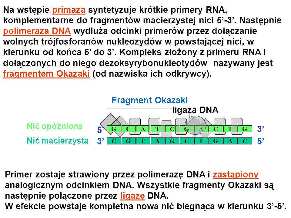 Na wstępie primaza syntetyzuje krótkie primery RNA,