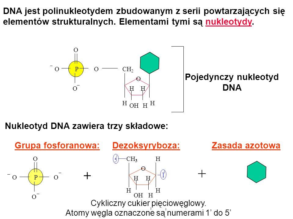 + + DNA jest polinukleotydem zbudowanym z serii powtarzających się