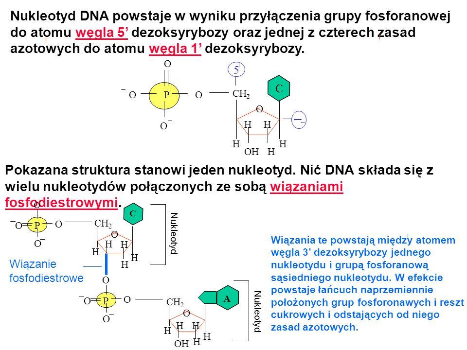 Nukleotyd DNA powstaje w wyniku przyłączenia grupy fosforanowej do atomu węgla 5' dezoksyrybozy oraz jednej z czterech zasad azotowych do atomu węgla 1' dezoksyrybozy.