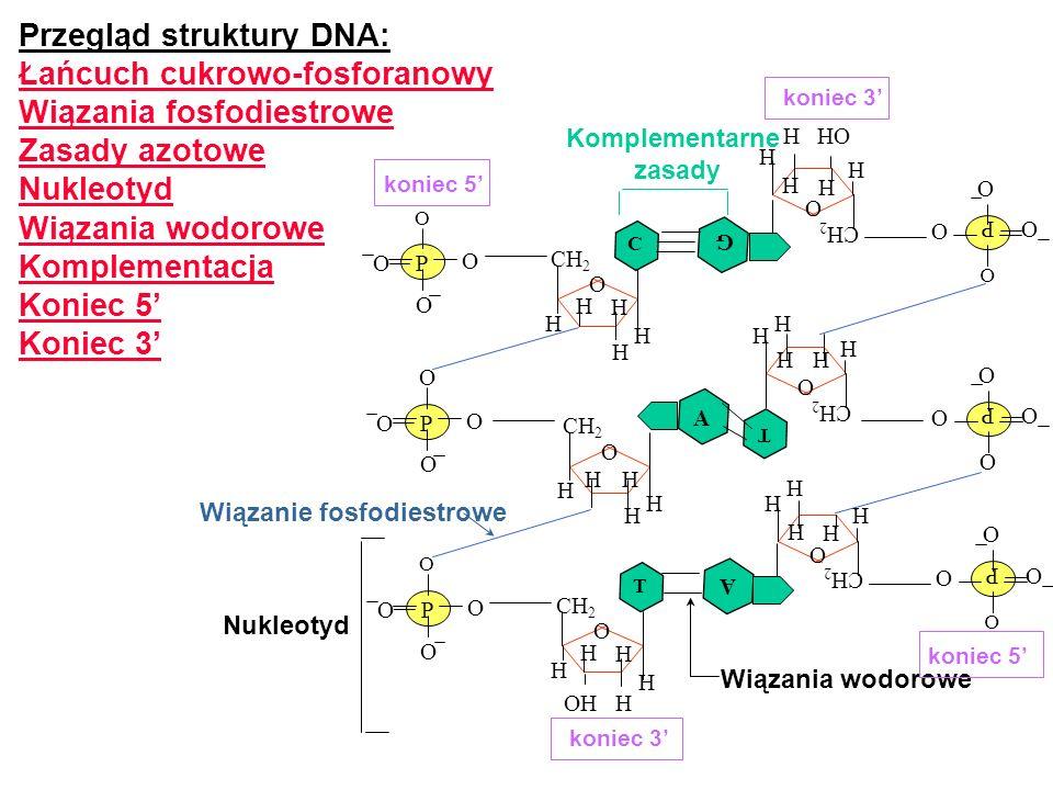 Przegląd struktury DNA: Łańcuch cukrowo-fosforanowy