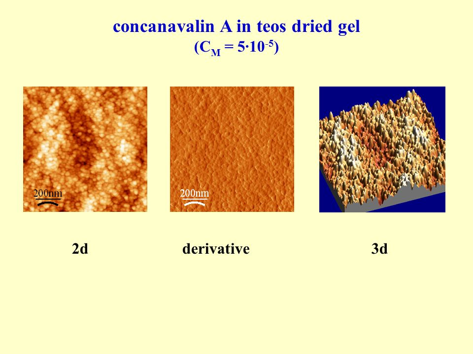 concanavalin A in teos dried gel
