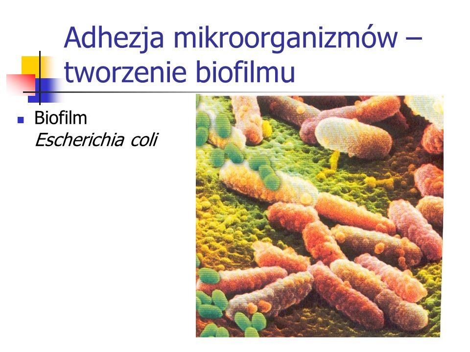 Adhezja mikroorganizmów – tworzenie biofilmu