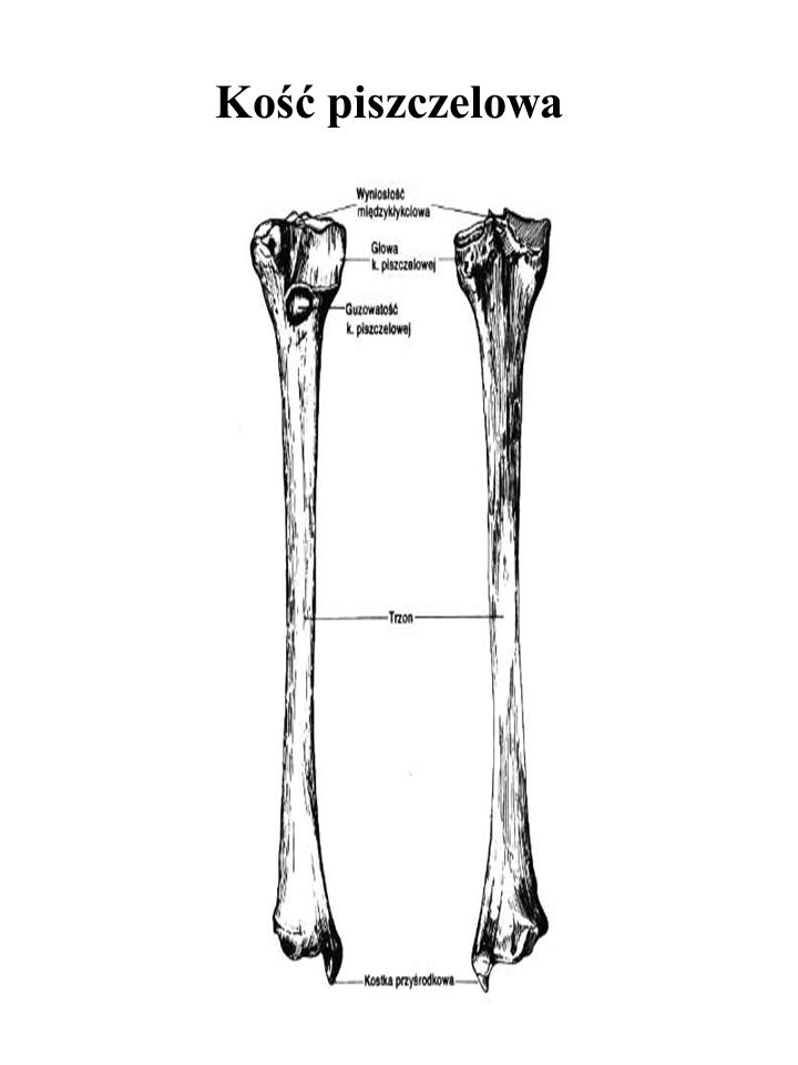 Kość piszczelowa