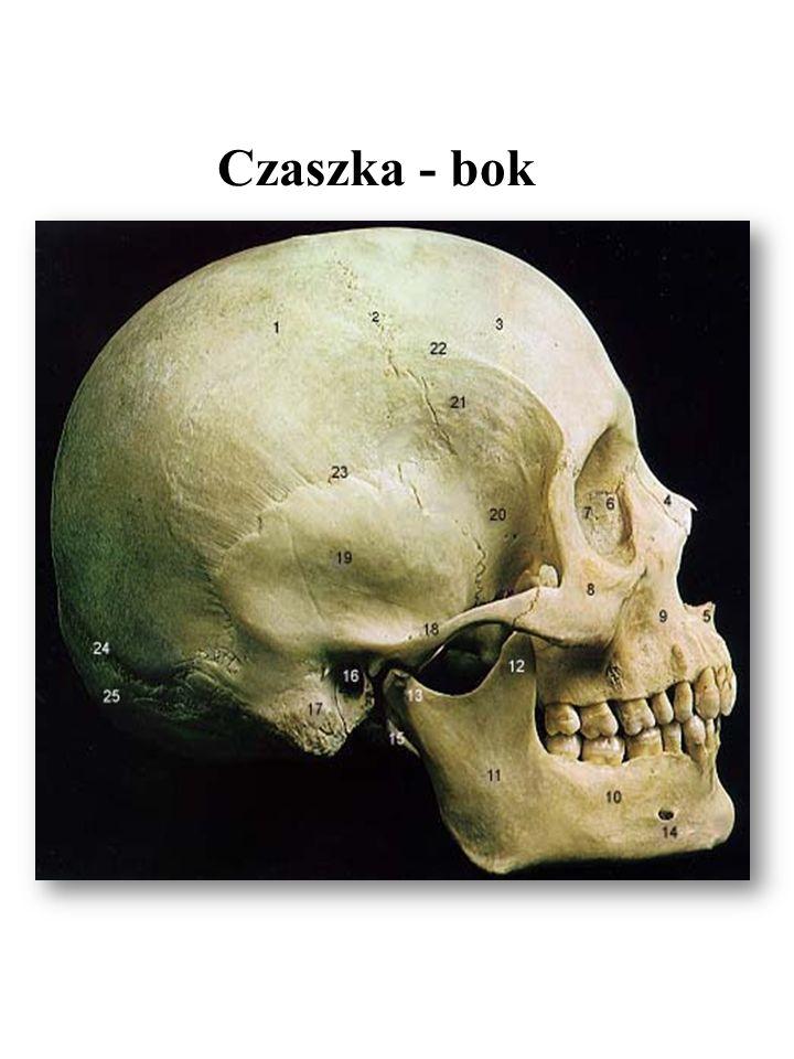 Czaszka - bok