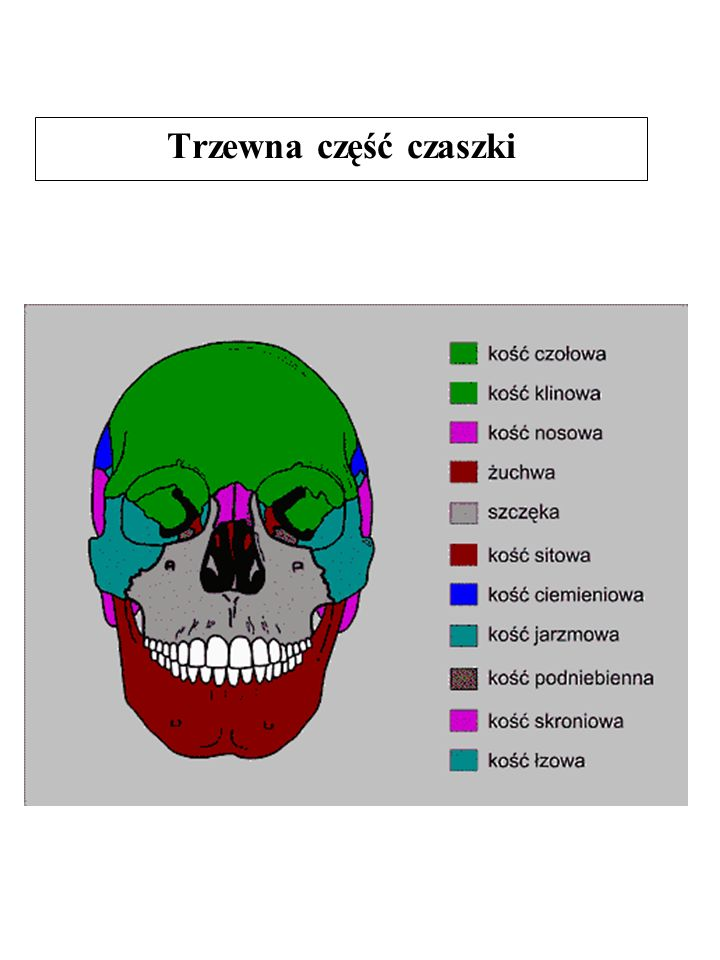 Trzewna część czaszki