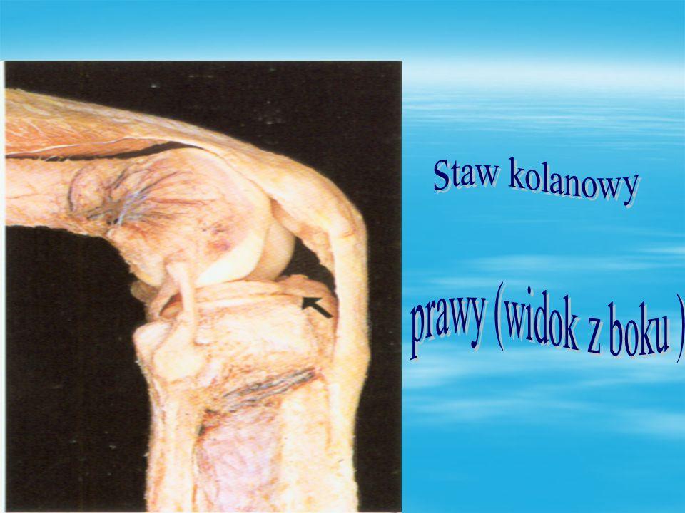 Staw kolanowy prawy (widok z boku )