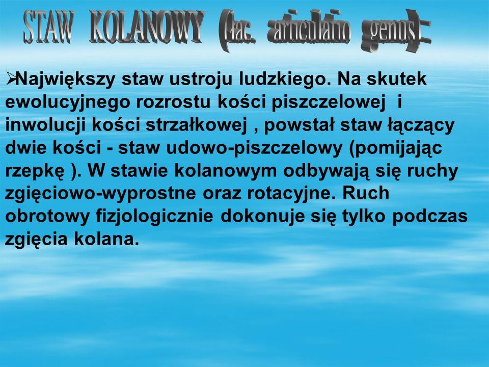 STAW KOLANOWY (łac. articulatio genus) :
