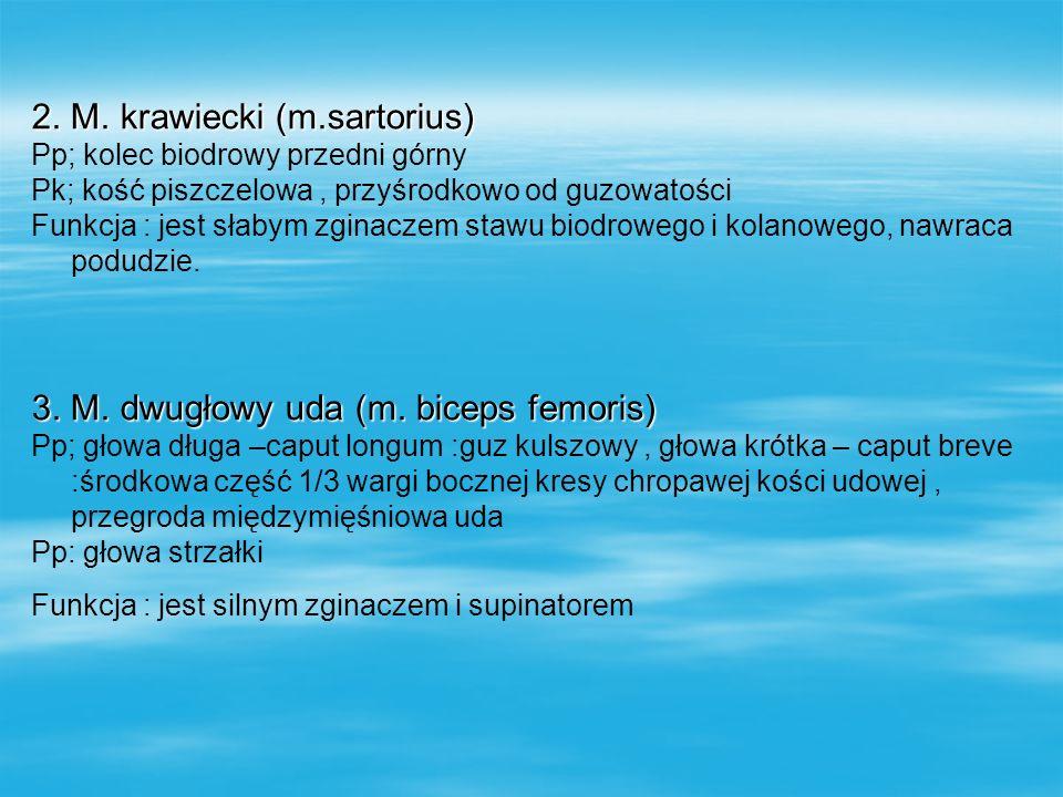 2. M. krawiecki (m.sartorius)