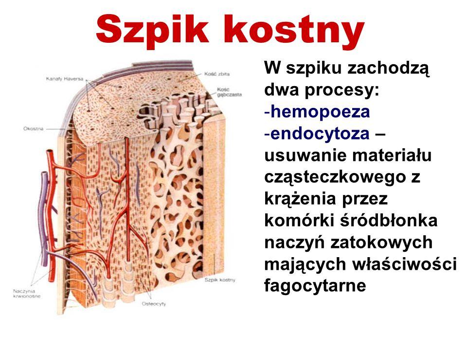 Szpik kostny W szpiku zachodzą dwa procesy: hemopoeza