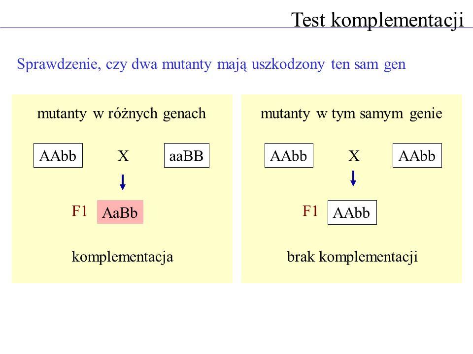 Test komplementacji Sprawdzenie, czy dwa mutanty mają uszkodzony ten sam gen. mutanty w różnych genach.