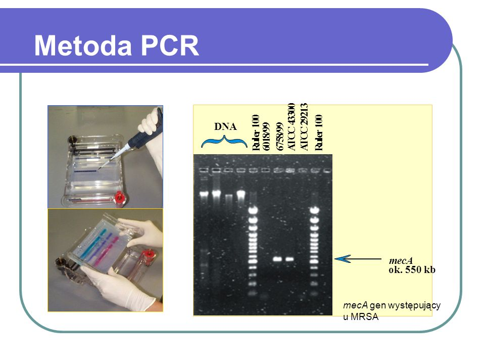 Metoda PCR 6 1 8 / 9 7 5 A T C 4 3 2 R u l e r DNA mecA ok. 550 kb