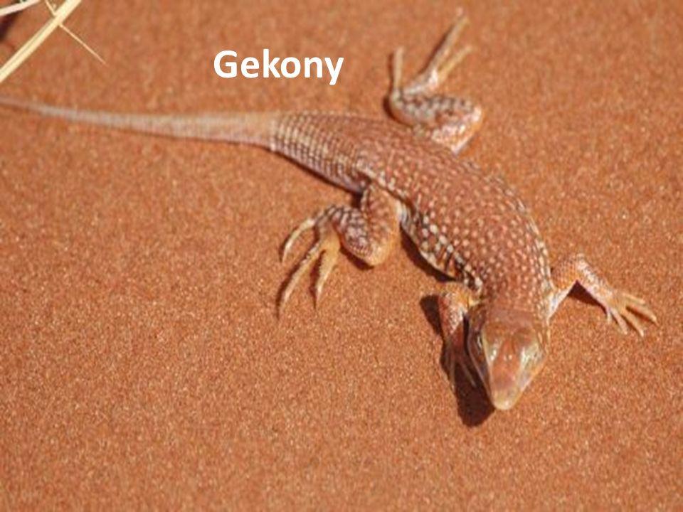 Gekony