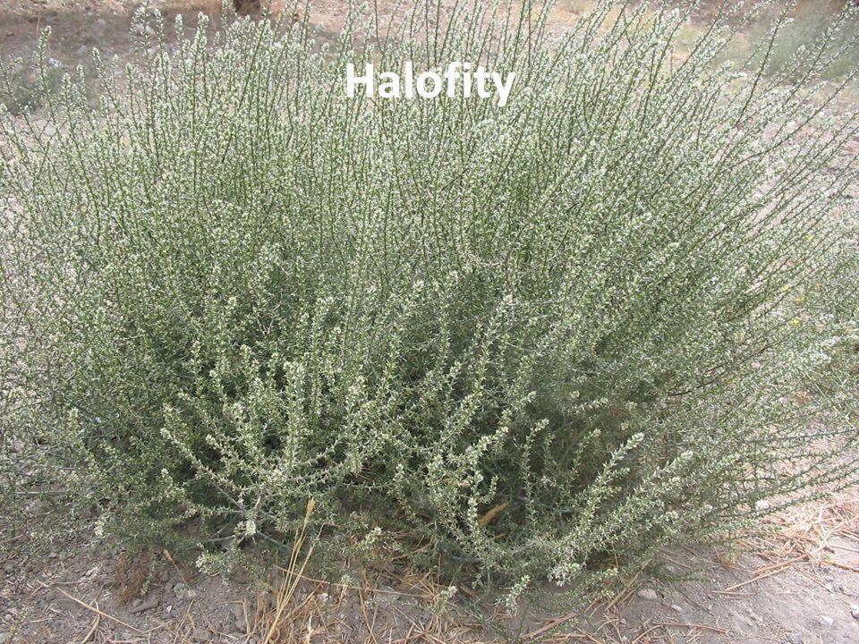Halofity