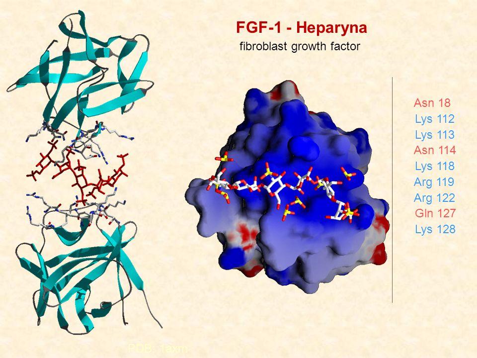 FGF-1 - Heparyna fibroblast growth factor Asn 18 Lys 112 Lys 113