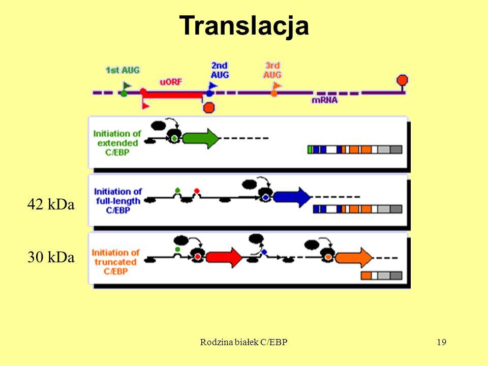 Translacja 42 kDa 30 kDa Rodzina białek C/EBP